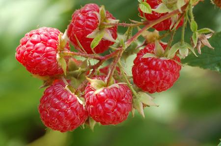 秋果双季红树莓~哈瑞太兹