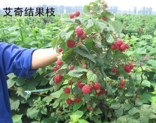 秋果双季红树莓~H果
