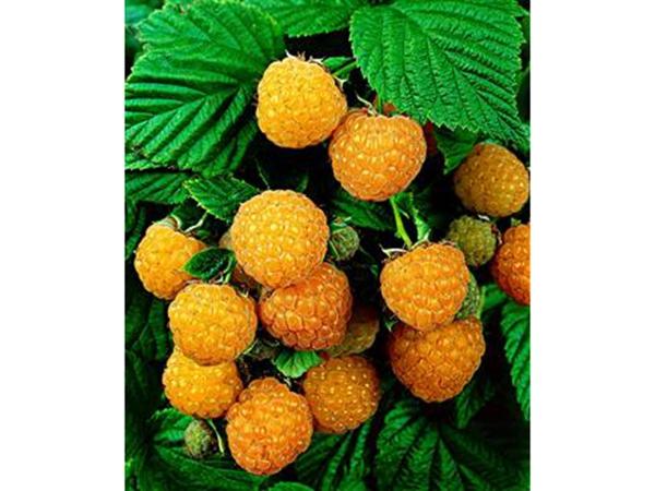 黄树莓(金丰、皇蜜)
