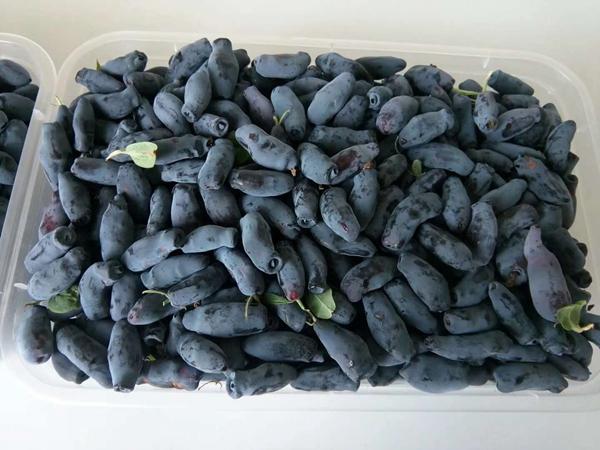蓝靛果鲜果